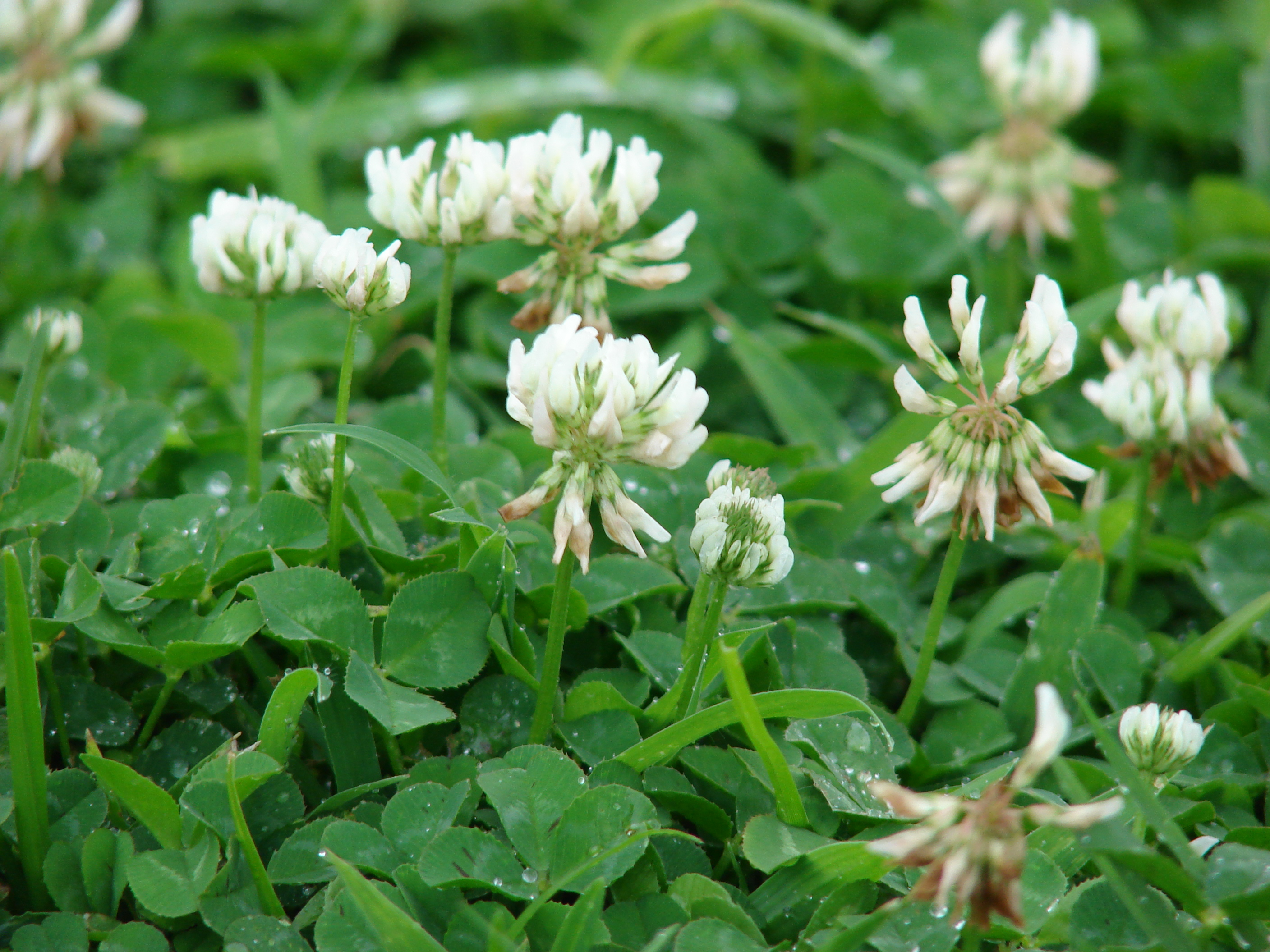 Blog - DuVall Lawn Care |White Clover Plant